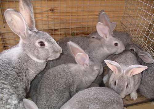 Способы выращивания кроликов на мясо